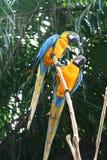 macaws Royaltyfri Foto