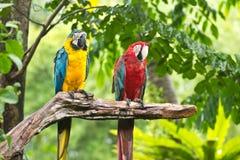 Macaws Royaltyfria Foton