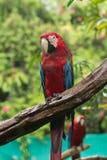 Macaws Arkivfoton