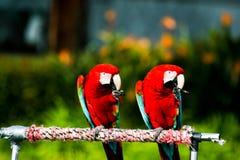 Macaws Στοκ Φωτογραφίες