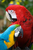 Macaws. A Scarlet and a Blue & Yellow Macaw Royalty Free Stock Images
