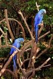 Macaws Στοκ φωτογραφία με δικαίωμα ελεύθερης χρήσης
