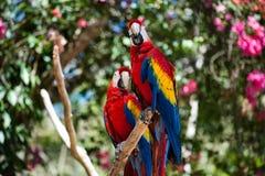 Macaws Στοκ φωτογραφίες με δικαίωμα ελεύθερης χρήσης