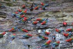macaws Fotografia Stock Libera da Diritti