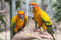 macaws Στοκ εικόνες με δικαίωμα ελεύθερης χρήσης