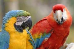 macaws стоковые изображения rf