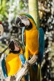macaws Arkivfoto