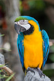 macaws Image libre de droits