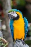 macaws Imagem de Stock Royalty Free