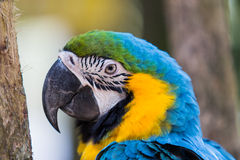 macaws Fotografia de Stock Royalty Free