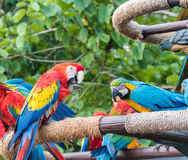 macaws Fotos de Stock Royalty Free