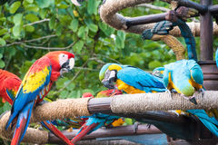 macaws Imagem de Stock