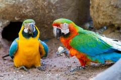 macaws Immagine Stock