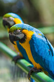 macaws 2 стоковая фотография rf