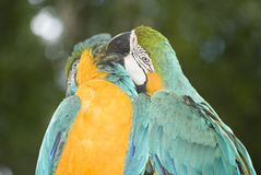 Macaws Azul-e-amarelos Fotos de Stock