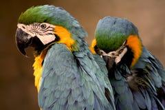 Macaws Azul-e-amarelos Fotografia de Stock