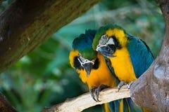 Macaws Azul-y-amarillos Imagenes de archivo