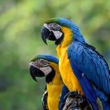 Macaws Azul-y-amarillos preciosos (ararauna del Ara) el azul hermoso Imágenes de archivo libres de regalías