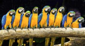 Macaws azules que se sientan en registro. foto de archivo libre de regalías