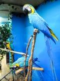 Macaws azules que sientan en ramas en fondo azul fotografía de archivo