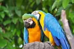 Macaws azules y amarillos Imágenes de archivo libres de regalías