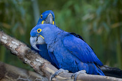 Macaws Birds. Stock Photography