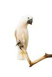 Macaws blancos del pájaro Fotografía de archivo libre de regalías
