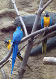 macaws bleus d'or Photo libre de droits