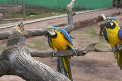Macaws bleus et jaunes Photographie stock