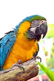 Macaws blue and yellow macaw. On the nature background Stock Images