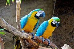 Macaws parrots Royalty Free Stock Image