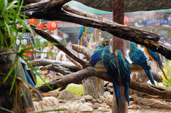 Macaws clinging to tree branch Royalty Free Stock Images