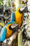 Macaws Royalty Free Stock Photos
