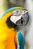 Macaws Royalty Free Stock Image