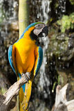 Macaws. Close up of Blue and yellow macaws Stock Photo