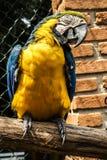 Macaws coloreados, azules y amarillos del Brasil fotografía de archivo libre de regalías