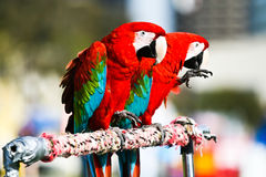Macaws. Colorful Macaws with fluffy feathers Royalty Free Stock Images