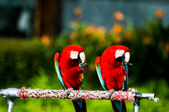 Macaws. Colorful Macaws with fluffy feathers Stock Photos