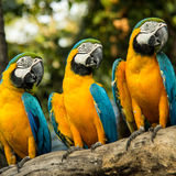 The macaws. Stock Images