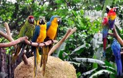 Macaws coloridos Foto de archivo libre de regalías