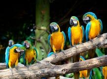 Macaws coloridos Fotos de archivo