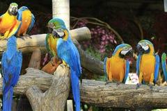 Macaws coloridos Fotos de archivo libres de regalías