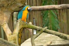 Macaws coloridos Imágenes de archivo libres de regalías