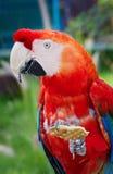Macaws coloridos Imagens de Stock