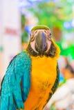 Macaws coloridos Fotografia de Stock Royalty Free