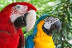 Macaws coloridos de los pares del primer en la naturaleza verde Imagen de archivo libre de regalías