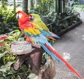 Macaws coloridos de los pares que se sientan en registro Imagen de archivo