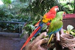 Macaws coloridos de los pares que se sientan en registro Imágenes de archivo libres de regalías