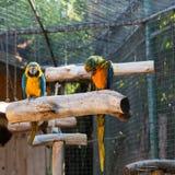 Macaws coloridos dos pares Fotos de Stock Royalty Free