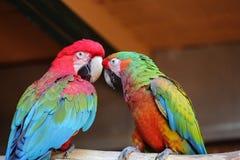 Macaws coloridos dos pares Fotos de Stock